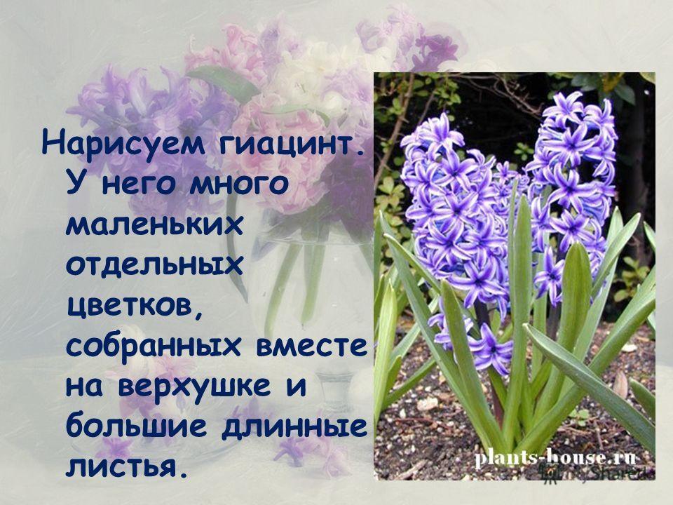 Нарисуем гиацинт. У него много маленьких отдельных цветков, собранных вместе на верхушке и большие длинные листья.