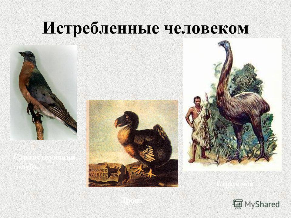 Истребленные человеком Странствующий голубь Дронт Страус моа