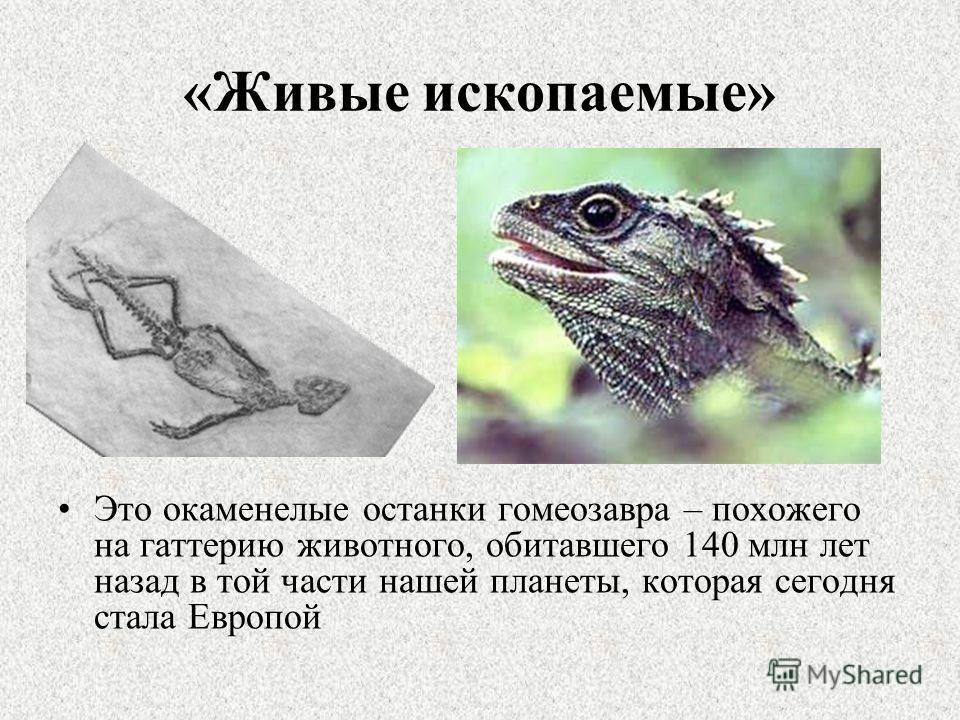 «Живые ископаемые» Это окаменелые останки гомеозавра – похожего на гаттерию животного, обитавшего 140 млн лет назад в той части нашей планеты, которая сегодня стала Европой