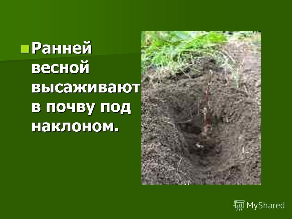 Ранней весной высаживают в почву под наклоном. Ранней весной высаживают в почву под наклоном.