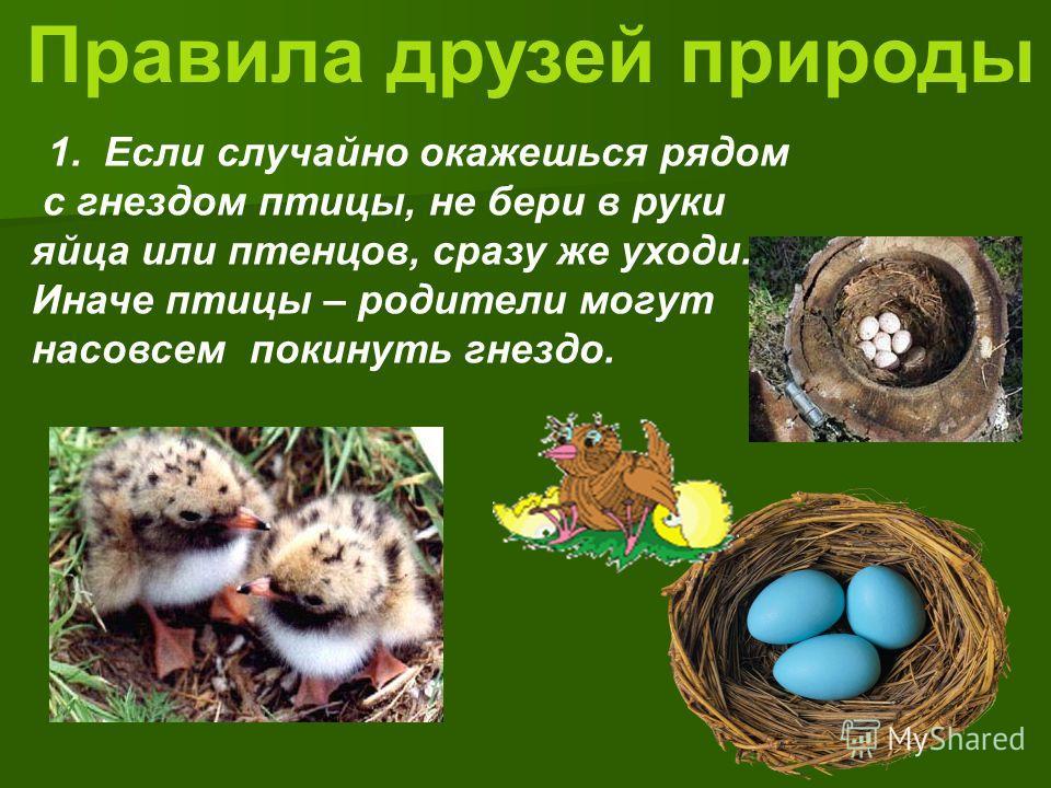 Правила друзей природы 1. Если случайно окажешься рядом с гнездом птицы, не бери в руки яйца или птенцов, сразу же уходи. Иначе птицы – родители могут насовсем покинуть гнездо.