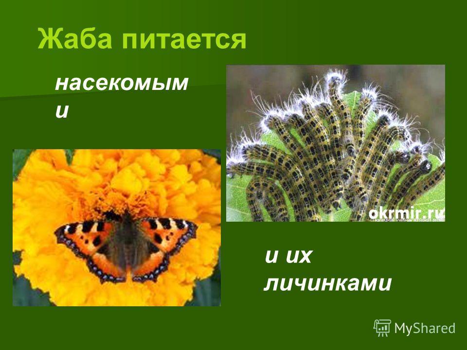 Жаба питается насекомым и и их личинками
