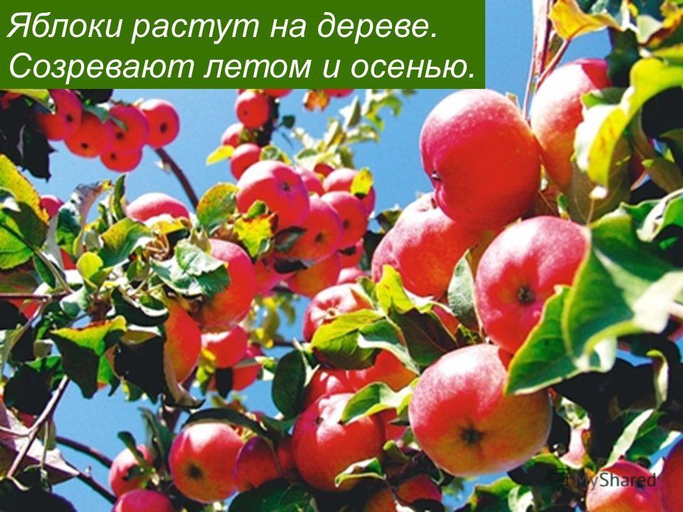 Яблоки растут на дереве. Созревают летом и осенью.