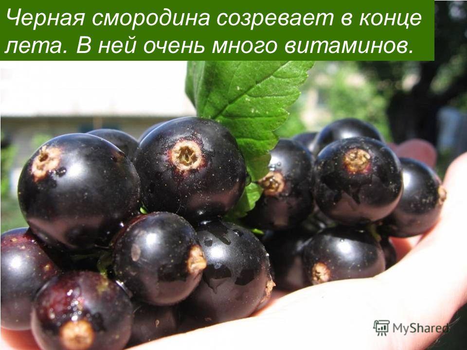 Черная смородина созревает в конце лета. В ней очень много витаминов.