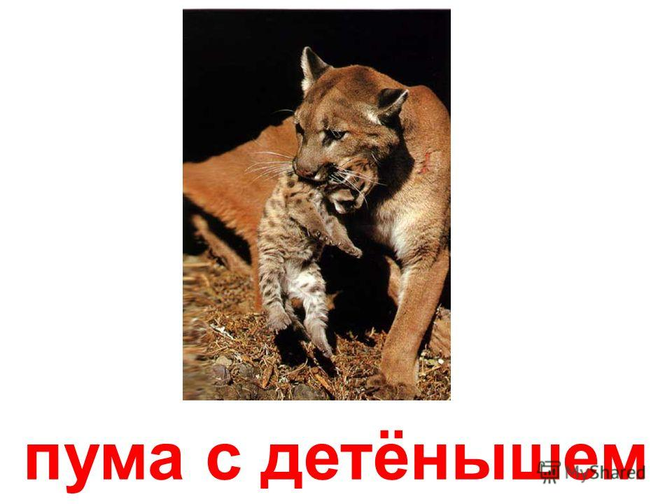 гепард с детёнышем