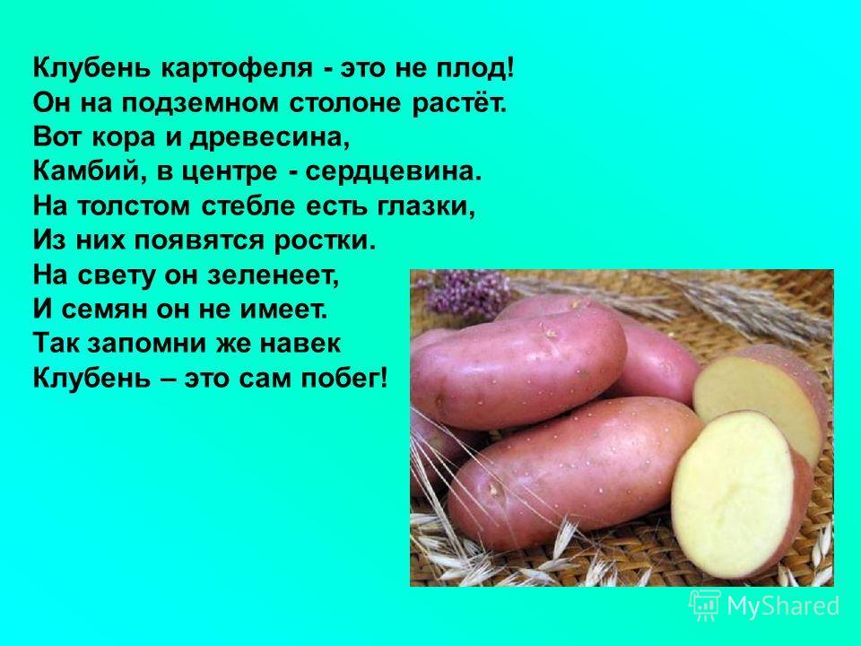 Клубень картофеля - это не плод! Он на подземном столоне растёт. Вот кора и древесина, Камбий, в центре - сердцевина. На толстом стебле есть глазки, Из них появятся ростки. На свету он зеленеет, И семян он не имеет. Так запомни же навек Клубень – это