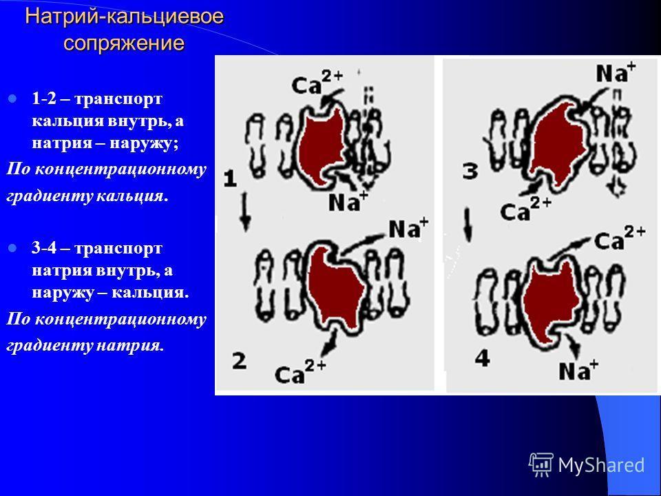 Натрий-кальциевое сопряжение 1-2 – транспорт кальция внутрь, а натрия – наружу; По концентрационному градиенту кальция. 3-4 – транспорт натрия внутрь, а наружу – кальция. По концентрационному градиенту натрия.