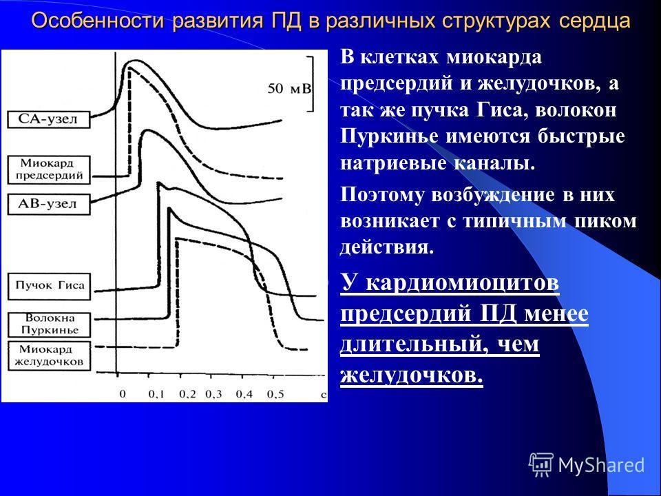 Особенности развития ПД в различных структурах сердца В клетках миокарда предсердий и желудочков, а так же пучка Гиса, волокон Пуркинье имеются быстрые натриевые каналы. Поэтому возбуждение в них возникает с типичным пиком действия. У кардиомиоцитов