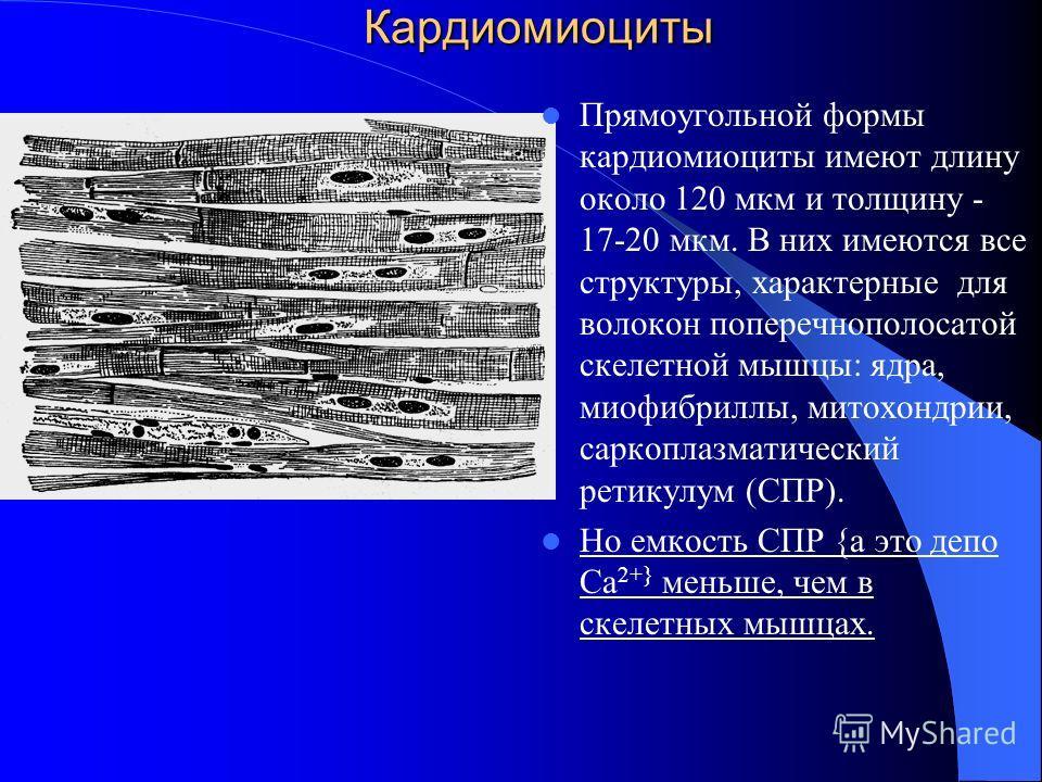 Кардиомиоциты Прямоугольной формы кардиомиоциты имеют длину около 120 мкм и толщину - 17-20 мкм. В них имеются все структуры, характерные для волокон поперечнополосатой скелетной мышцы: ядра, миофибриллы, митохондрии, саркоплазматический ретикулум (С
