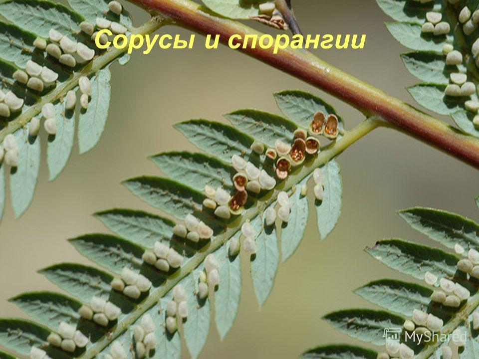 , Сорусы папоротника Заросток папоротника Сорусы и спорангии