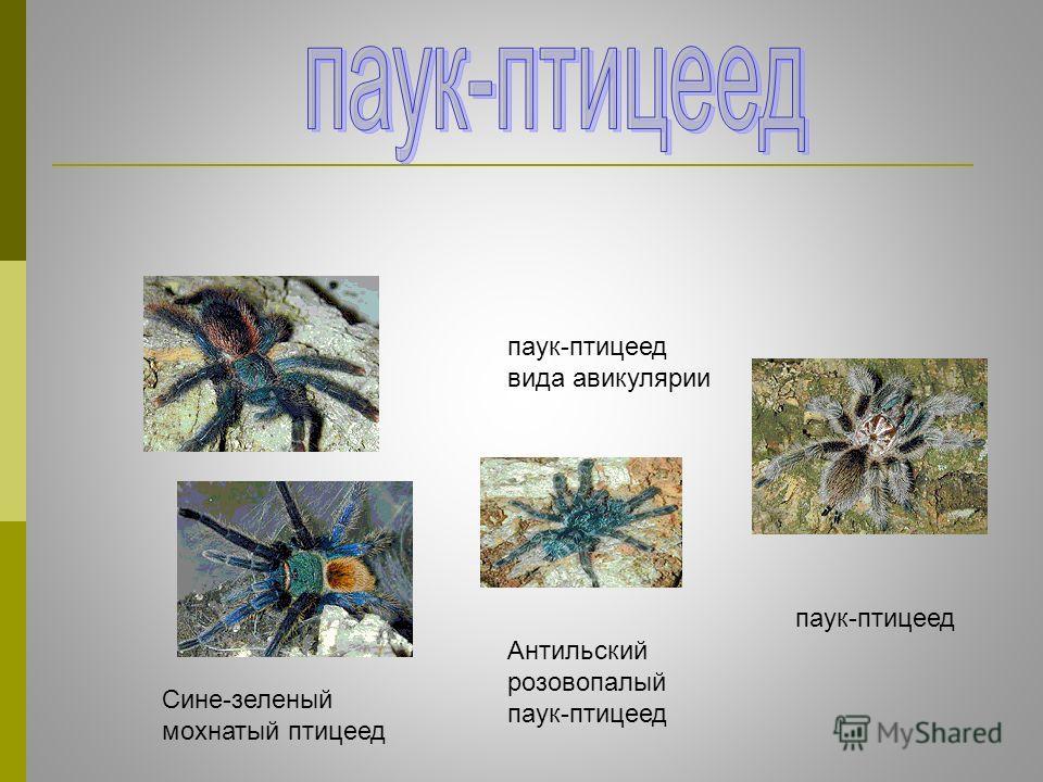 Антильский розовопалый паук-птицеед паук-птицеед вида авикулярии Сине-зеленый мохнатый птицеед паук-птицеед