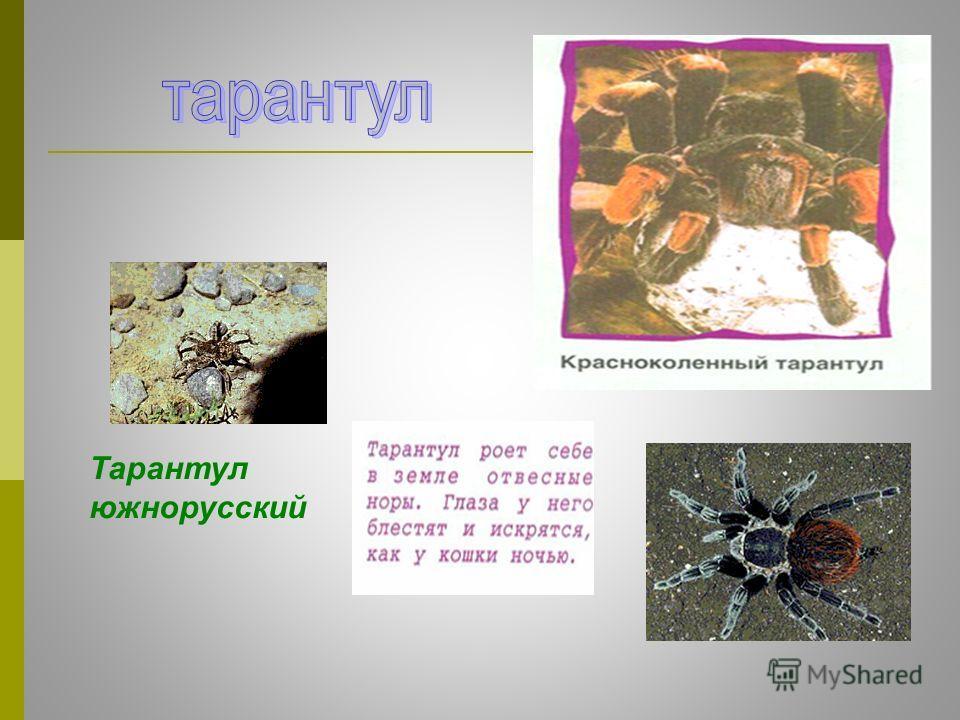 Тарантул южнорусский