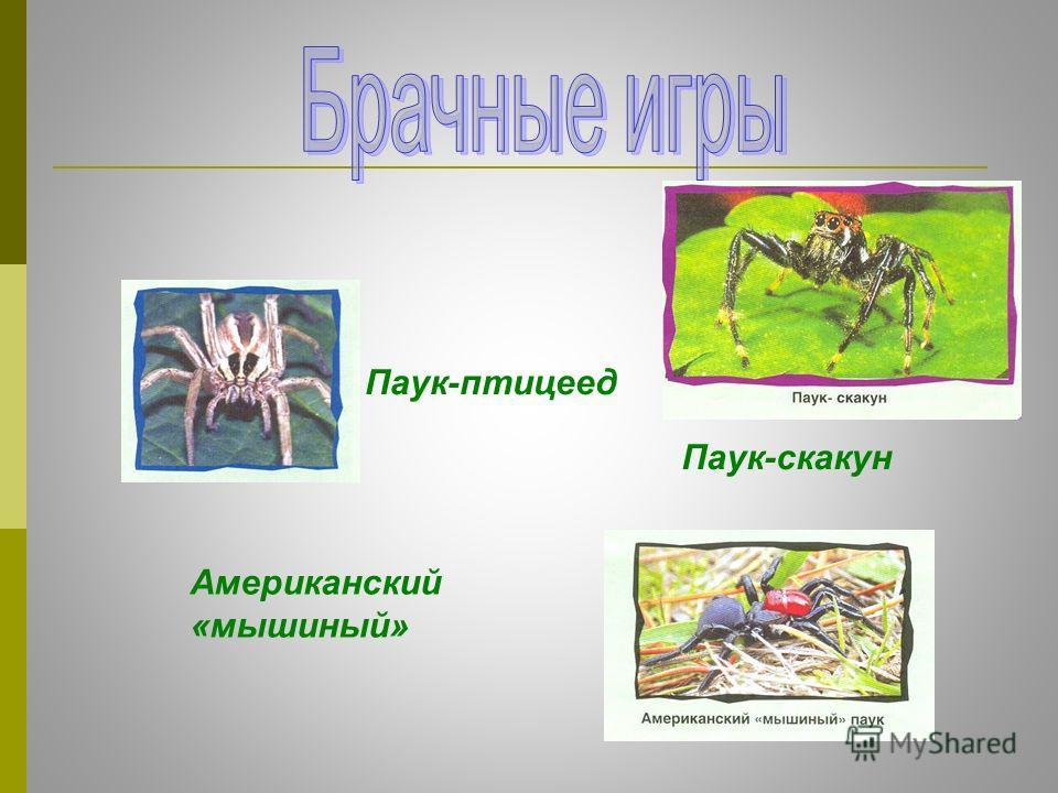 Паук-скакун Паук-птицеед Американский «мышиный»
