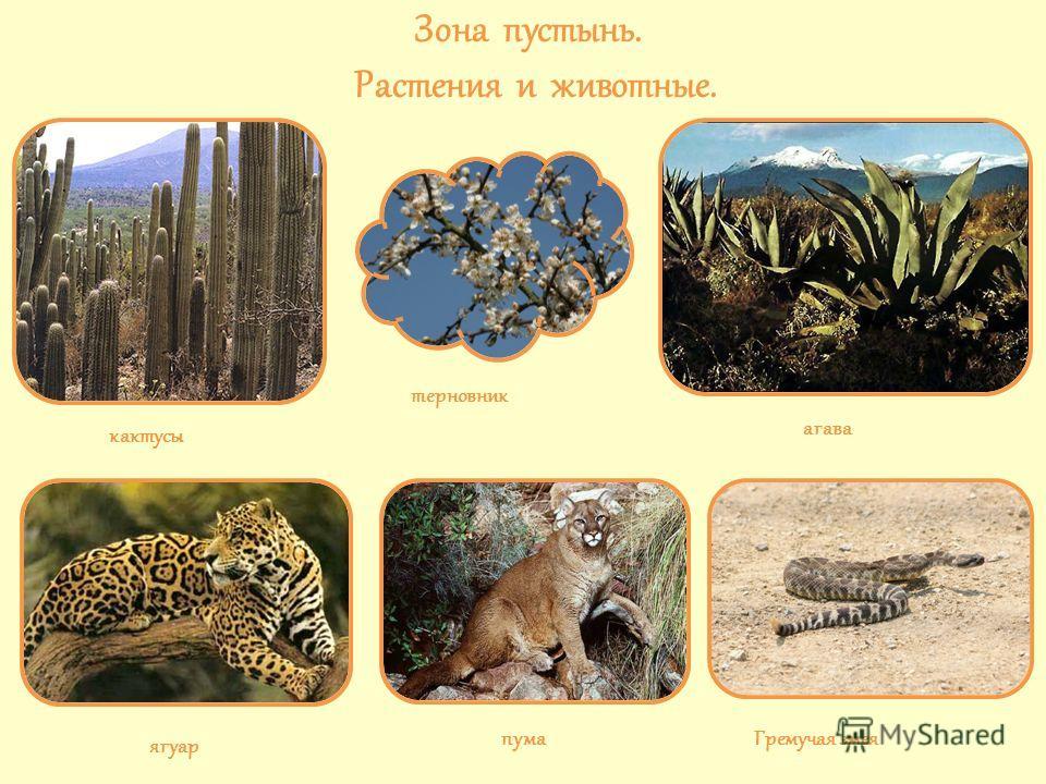 Зона пустынь. Растения и животные. кактусы терновник агава ягуар пума Гремучая змея