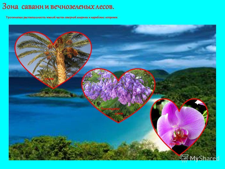 Зона саванн и вечнозеленых лесов. Тропическая растительность южной части северной америки и карибских островов. пальма Палисандровое дерево орхидея