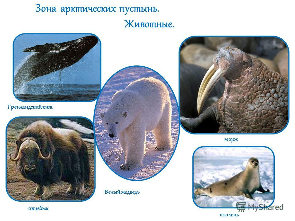 Зона арктических пустынь. Животные. Гренландский кит овцебык Белый медведь морж тюлень
