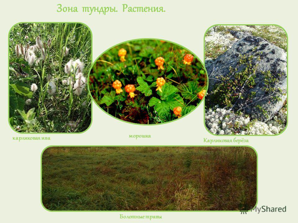 Зона тундры. Растения. карликовая ива морошка Карликовая берёза Болотные травы
