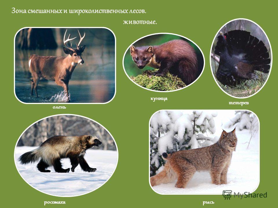 Зона смешанных и широколиственных лесов. животные. олень росомаха куница тетерев рысь