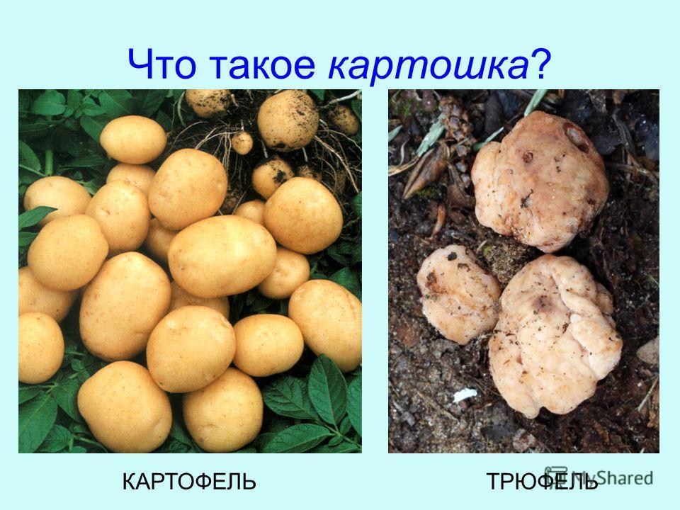 Что такое картошка? КАРТОФЕЛЬТРЮФЕЛЬ
