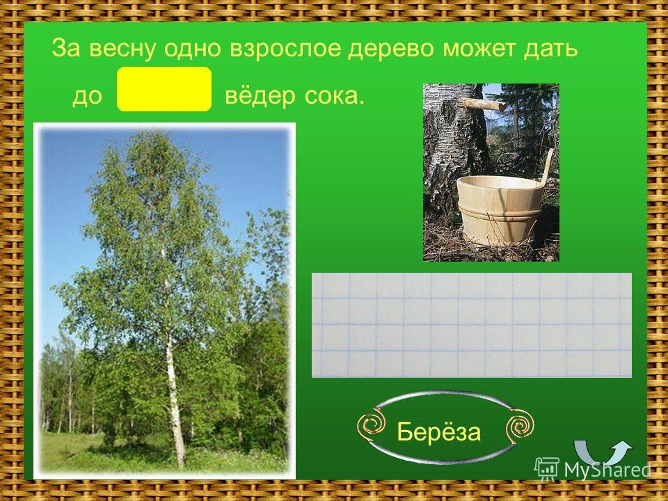 Берёза За весну одно взрослое дерево может дать до 4 вёдер сока.