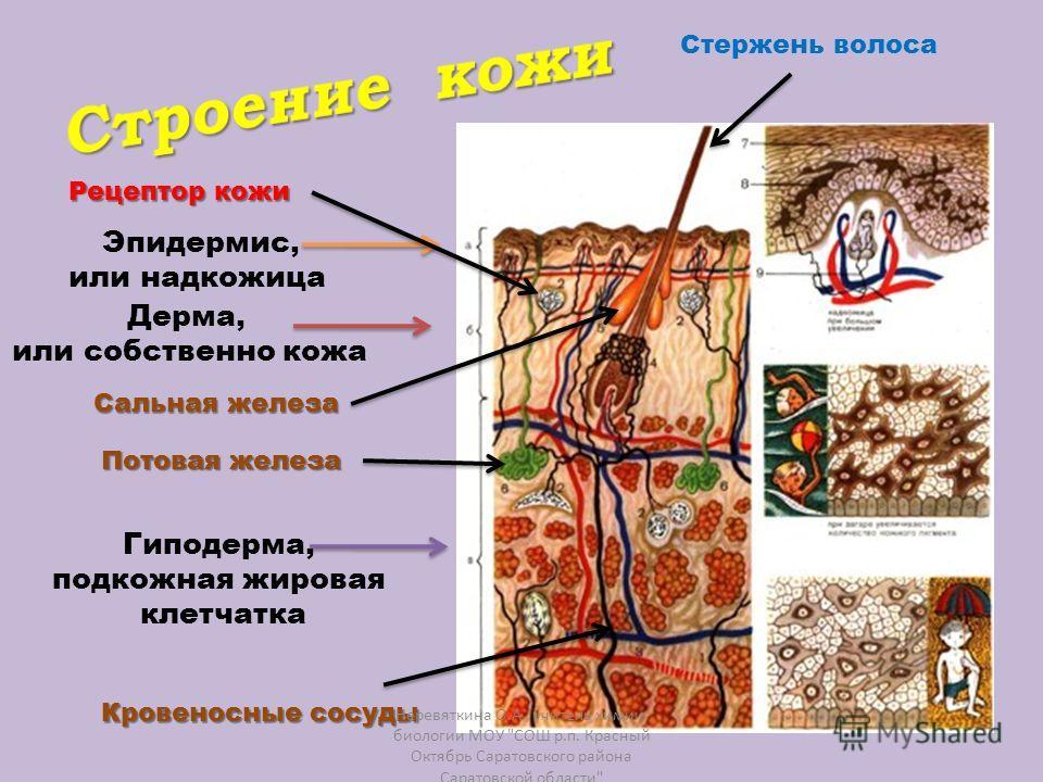 Эпидермис, или надкожица Дерма, или собственно кожа Гиподерма, подкожная жировая клетчатка Стержень волоса Кровеносные сосуды Потовая железа Рецептор кожи Сальная железа