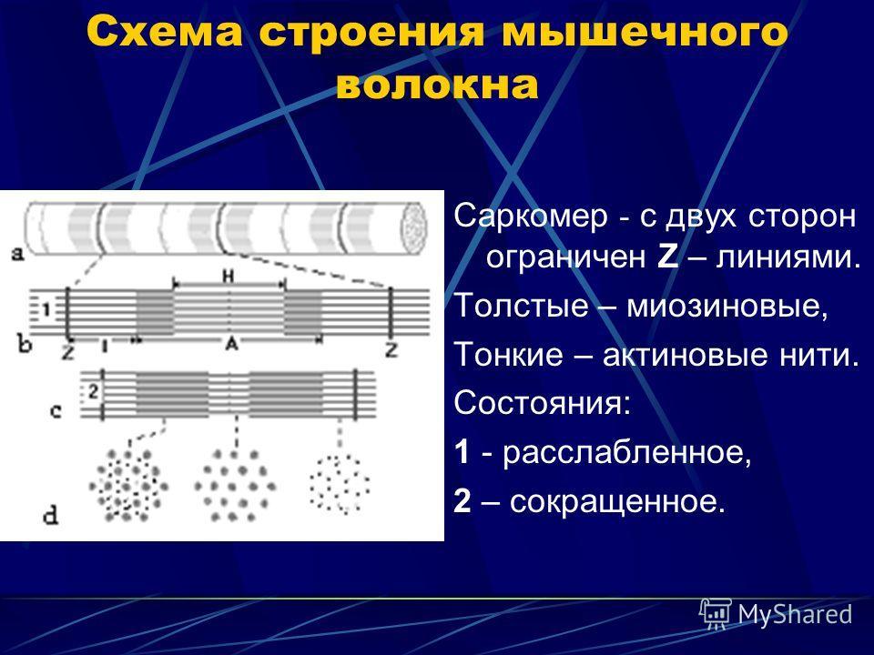 Схема строения мышечного волокна Саркомер - с двух сторон ограничен Z – линиями. Толстые – миозиновые, Тонкие – актиновые нити. Состояния: 1 - расслабленное, 2 – сокращенное.