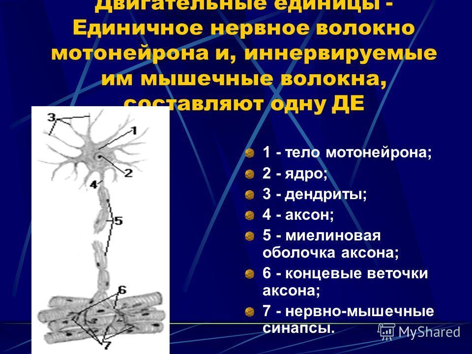 Двигательные единицы - Единичное нервное волокно мотонейрона и, иннервируемые им мышечные волокна, составляют одну ДЕ 1 - тело мотонейрона; 2 - ядро; 3 - дендриты; 4 - аксон; 5 - миелиновая оболочка аксона; 6 - концевые веточки аксона; 7 - нервно-мыш