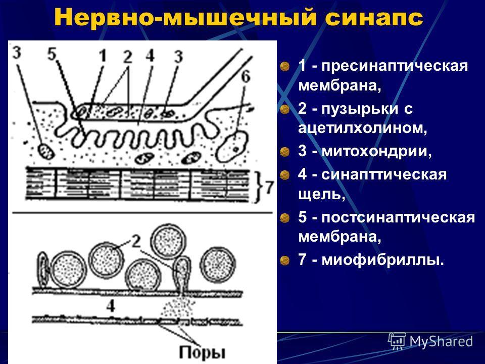 Нервно-мышечный синапс 1 - пресинаптическая мембрана, 2 - пузырьки с ацетилхолином, 3 - митохондрии, 4 - синаптическая щель, 5 - постсинаптическая мембрана, 7 - миофибриллы.