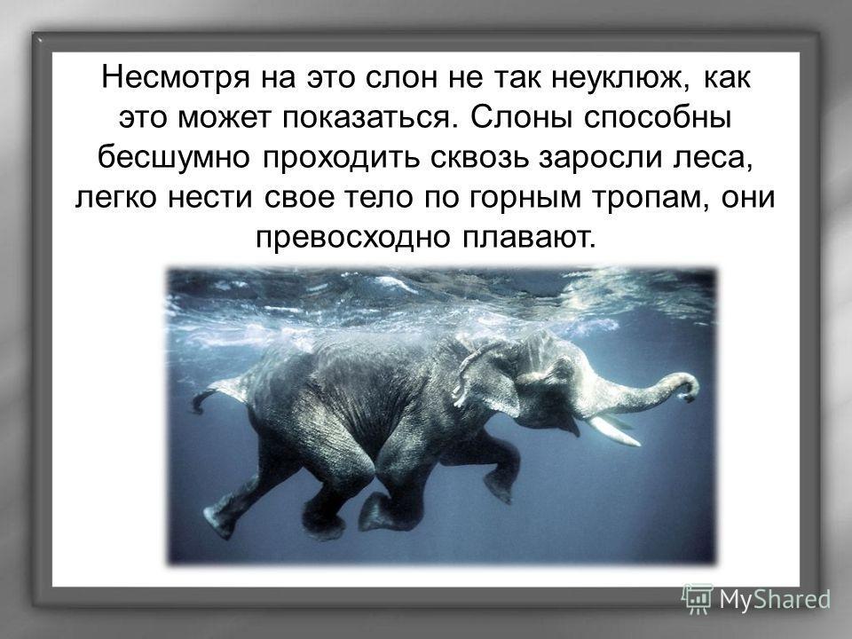 Несмотря на это слон не так неуклюж, как это может показаться. Слоны способны бесшумно проходить сквозь заросли леса, легко нести свое тело по горным тропам, они превосходно плавают.