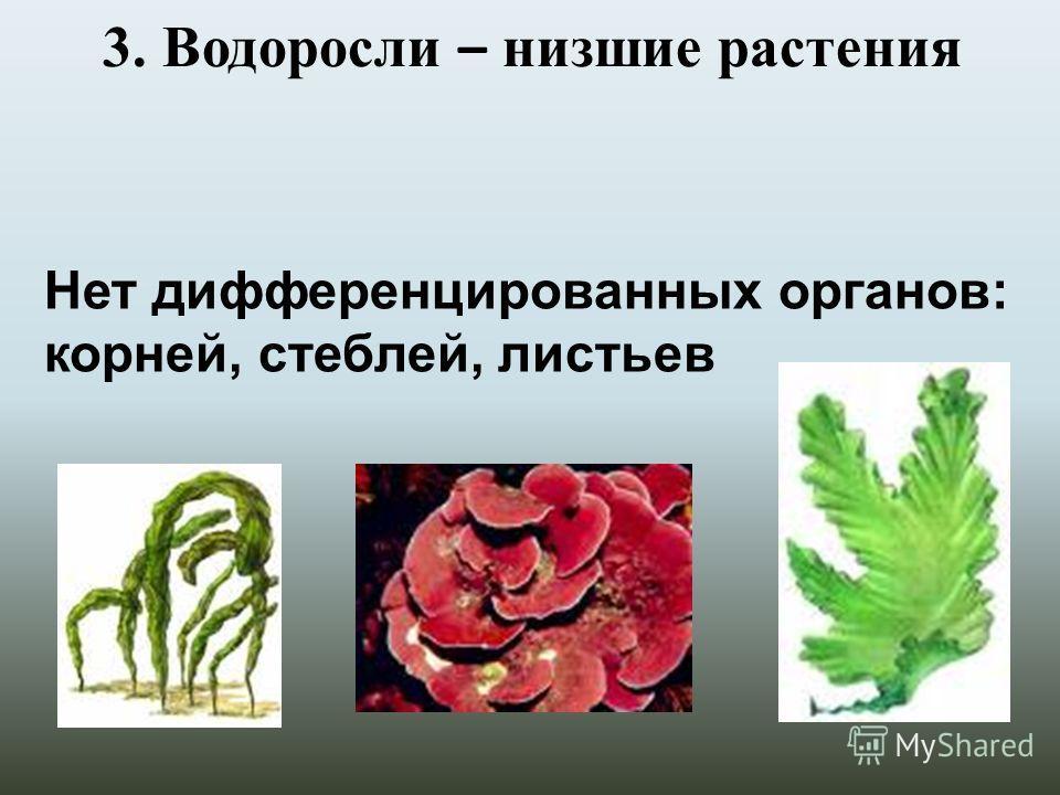 3. Водоросли – низшие растения Нет дифференцированных органов: корней, стеблей, листьев