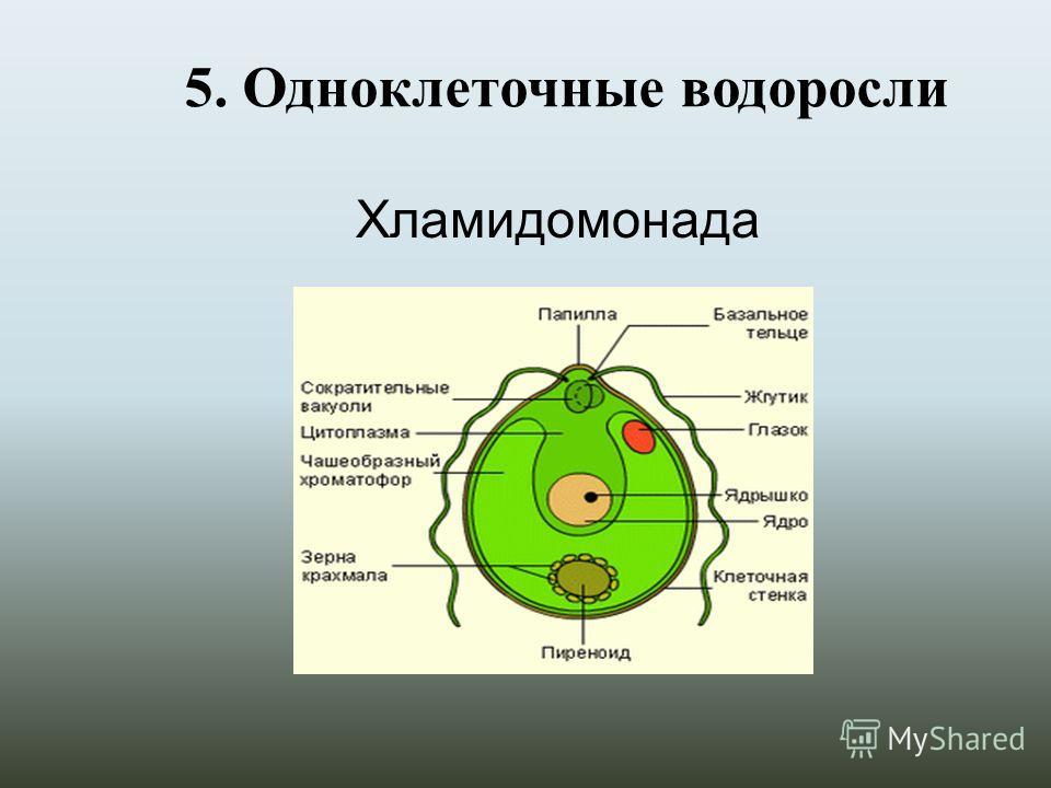5. Одноклеточные водоросли Хламидомонада