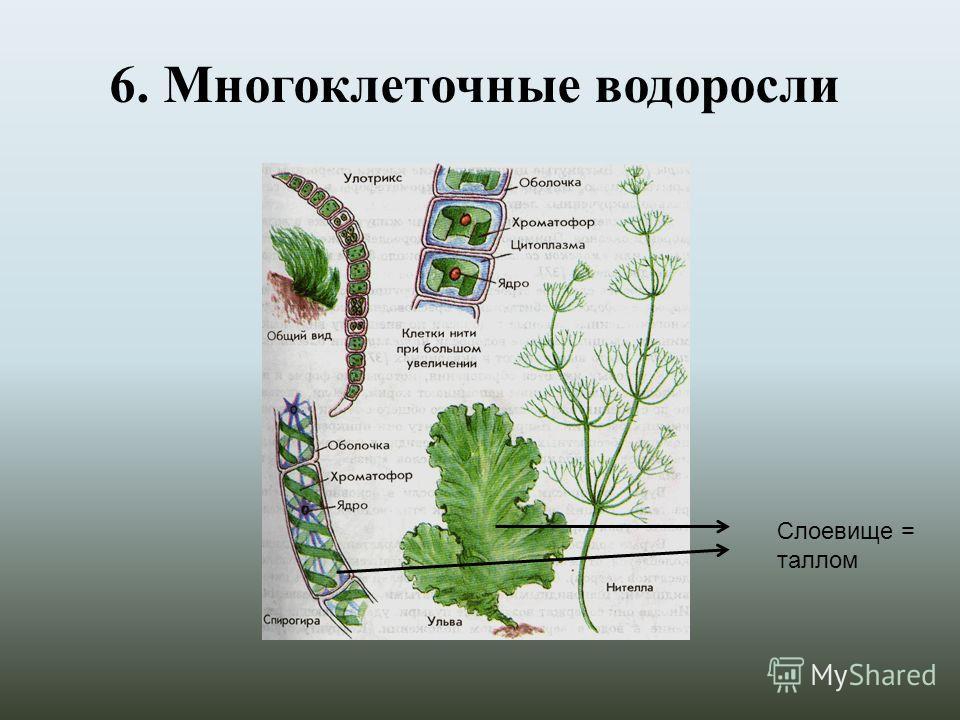 6. Многоклеточные водоросли Слоевище = таллом