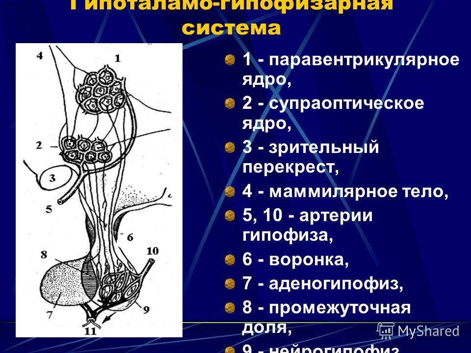 Гипоталамо-гипофизарная система 1 - паравентрикулярное ядро, 2 - супраоптическое ядро, 3 - зрительный перекрест, 4 - маммилярное тело, 5, 10 - артерии гипофиза, 6 - воронка, 7 - аденогипофиз, 8 - промежуточная доля, 9 - нейрогипофиз, 11 - вена.
