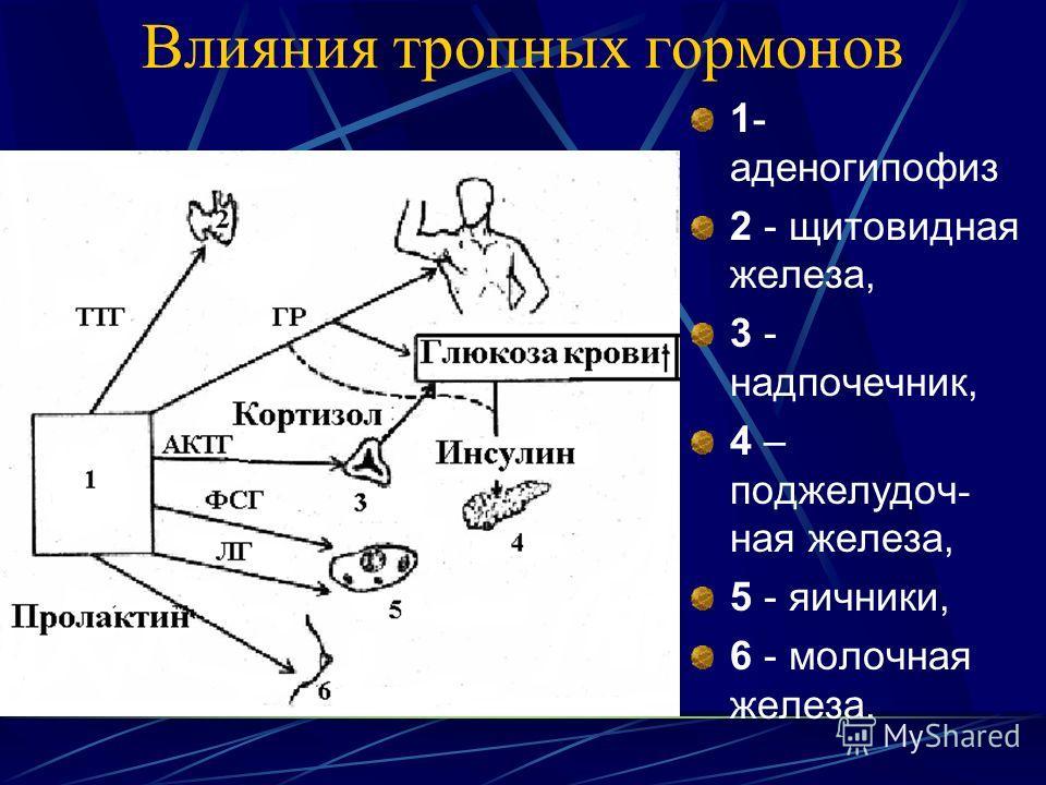 Влияния тропных гормонов 1 - аденогипофиз 2 - щитовидная железа, 3 - надпочечник, 4 – поджелудочная железа, 5 - яичники, 6 - молочная железа.