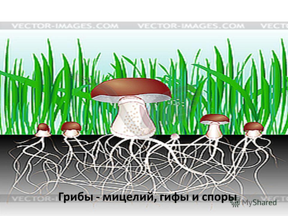 Грибы - мицелий, гифы и споры