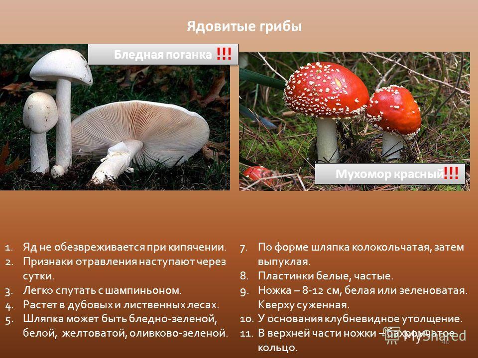 40 Ядовитые грибы Бледная поганка !!! 1. Яд не обезвреживается при кипячении. 2. Признаки отравления наступают через сутки. 3. Легко спутать с шампиньоном. 4. Растет в дубовых и лиственных лесах. 5. Шляпка может быть бледно-зеленой, белой, желтоватой