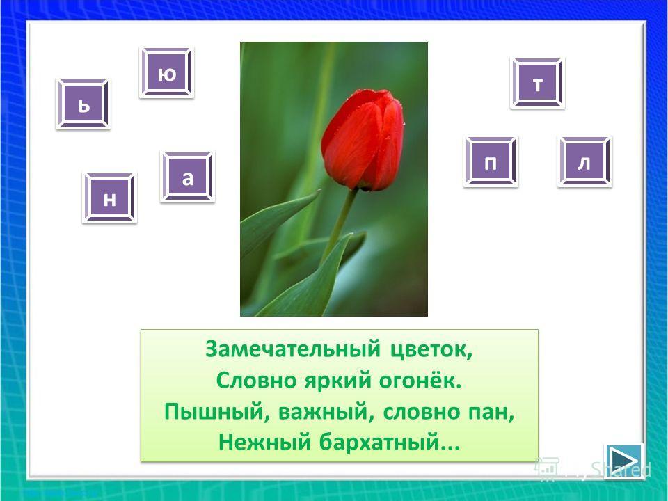 Замечательный цветок, Словно яркий огонёк. Пышный, важный, словно пан, Нежный бархатный... н н а а п п ь ь л л ю ю т т
