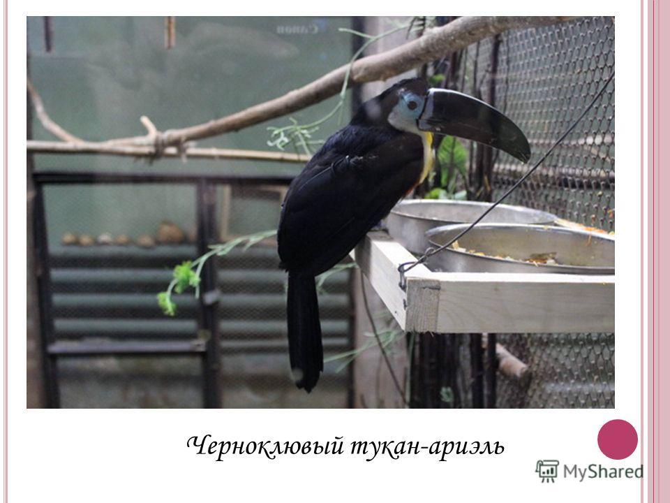 Черноклювый тукан-ариэль