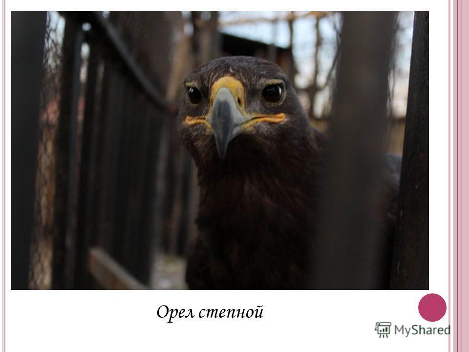 Орел степной