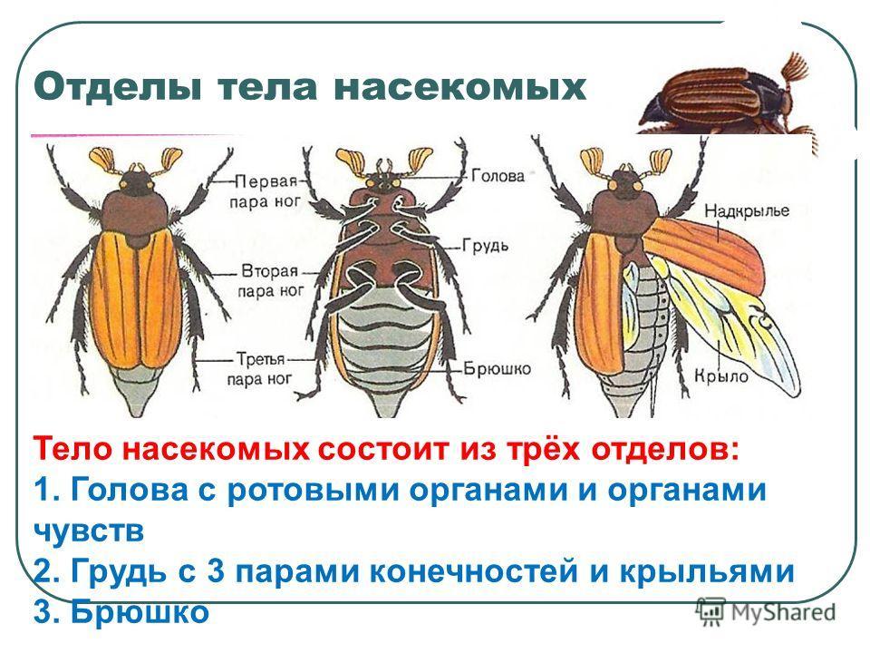 Отделы тела насекомых Тело насекомых состоит из трёх отделов: 1. Голова с ротовыми органами и органами чувств 2. Грудь с 3 парами конечностей и крыльями 3. Брюшко
