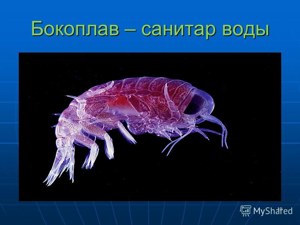 Бокоплав – санитар воды 10
