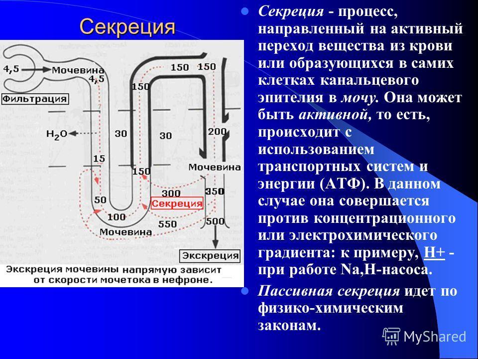 Cекреция Секреция - процесс, направленный на активный переход вещества из крови или образующихся в самих клетках канальцевого эпителия в мочу. Она может быть активной, то есть, происходит с использованием транспортных систем и энергии (АТФ). В данном