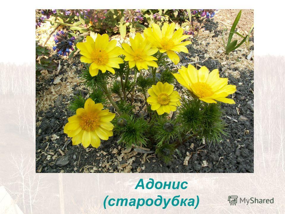 Адонис (стародубка)