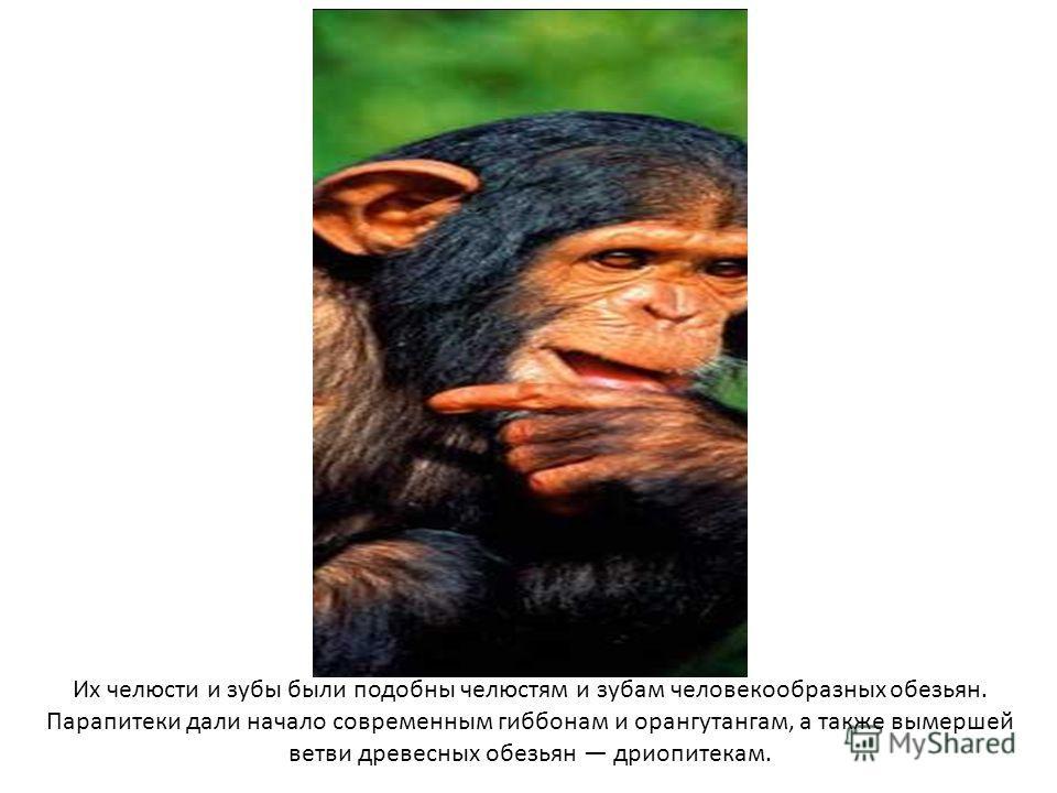 Их челюсти и зубы были подобны челюстям и зубам человекообразных обезьян. Парапитеки дали начало современным гиббонам и орангутангам, а также вымершей ветви древесных обезьян дриопитекам.