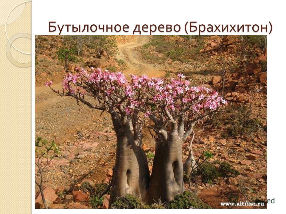 Бутылочное дерево ( Брахихитон )