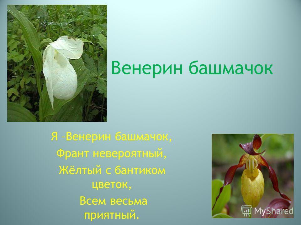 В Венерин башмачок Я –Венерин башмачок, Франт невероятный, Жёлтый с бантиком цветок, Всем весьма приятный.