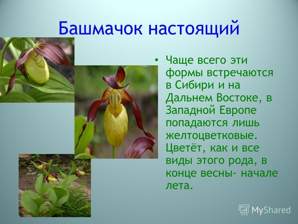 Башмачок настоящий Чаще всего эти формы встречаются в Сибири и на Дальнем Востоке, в Западной Европе попадаются лишь желто цветковые. Цветёт, как и все виды этого рода, в конце весны- начале лета.