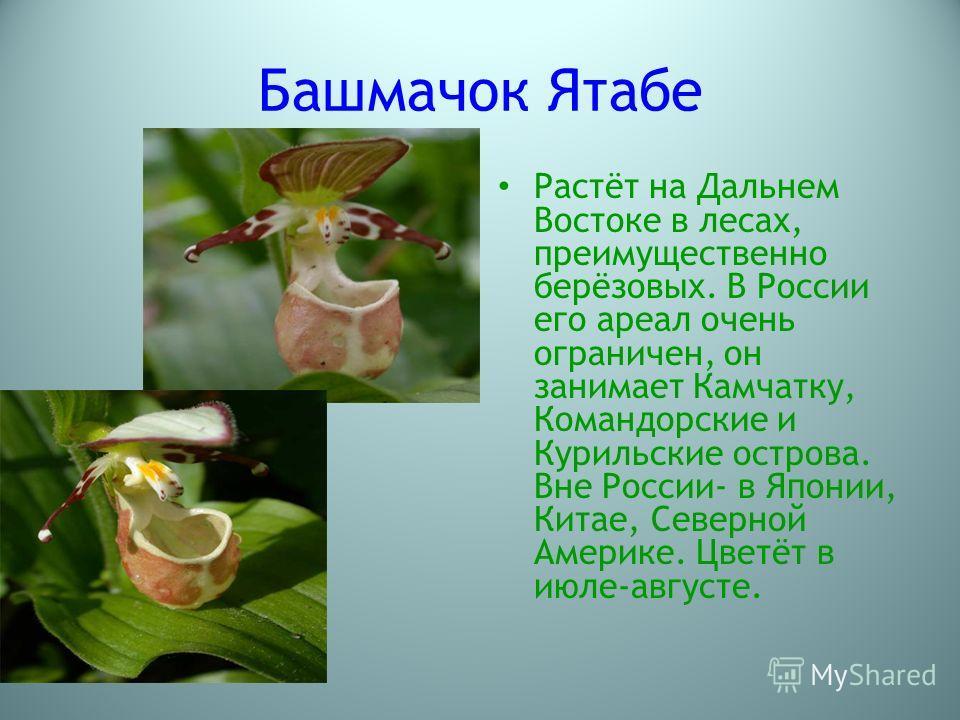 Башмачок Ятабе Растёт на Дальнем Востоке в лесах, преимущественно берёзовых. В России его ареал очень ограничен, он занимает Камчатку, Командорские и Курильские острова. Вне России- в Японии, Китае, Северной Америке. Цветёт в июле-августе.