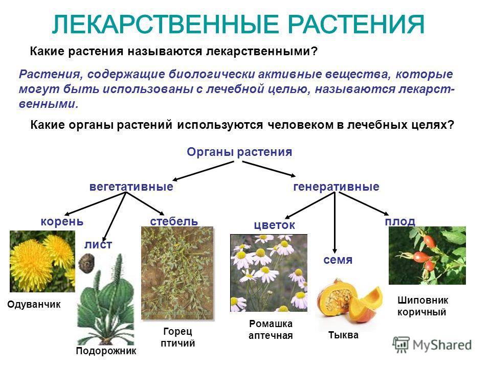 Какие растения называются лекарственными? Растения, содержащие биологически активные вещества, которые могут быть использованы с лечебной целью, называются лекарственными. Какие органы растений используются человеком в лечебных целях? Органы растения