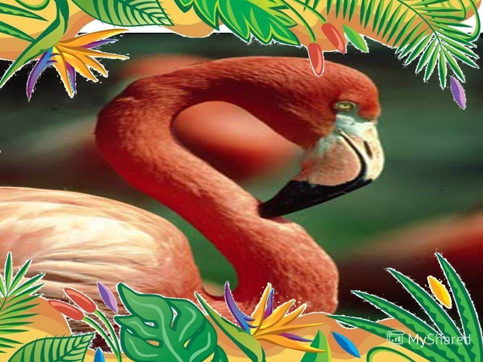 Самые длинные ноги - у малого фламинго. Высота птицы 1,5 метра, а длина ног до 68 см, то есть более половины роста.